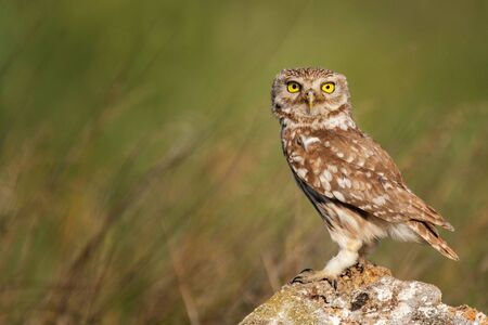 The Little Owl Athene noctua, stands on a rock. Portrait in a beautiful light. Stock Photo