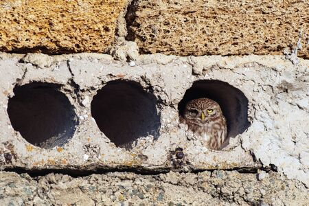 Little owl, Athena Noctua looks out of her hole.