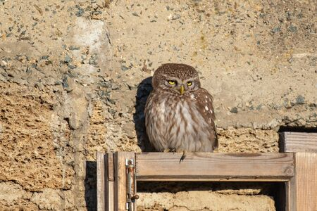 Little owl, Athena Noctua sits on a wooden window pane.