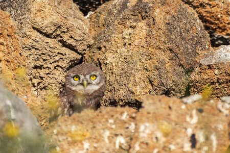 The Little Owl Athene noctua. A young owl looks out of its hole.