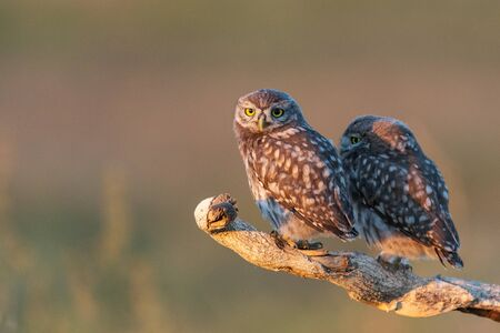 Two Little Owl Athene noctua, a young owl sits on a stick in a beautiful light.