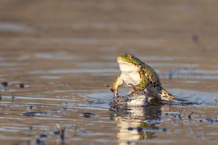 Green Marsh Frog Pelophylax ridibundus, in a jump on a beautiful light.
