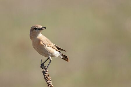 Isabelline wheatear Oenanthe isabellina, with food in its beak, in a beautiful light.