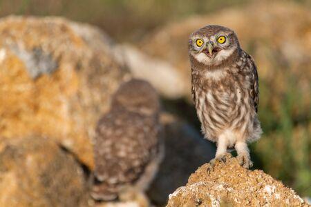 The Little Owl Athene noctua, stands on a rock. Portrait.
