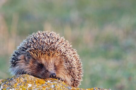 European hedgehog, Erinaceus europaeus on a green meadow.