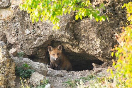 Two Little Red Fox near his hole. Vulpes vulpes.