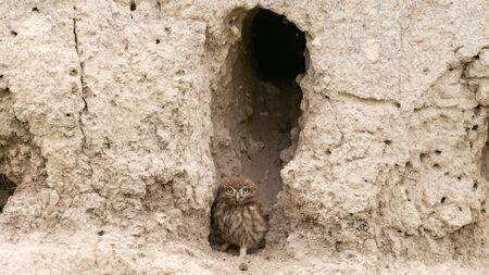 The little owl Athene noctua, stands near his hole.