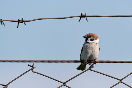Eurasian Tree Sparrow Passer montanus, sitting on a wire fence. Stock Photo