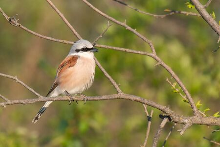 Red-backed Shrike,Lanius collurio,sitting on a branch and looking for prey in the beautiful light.