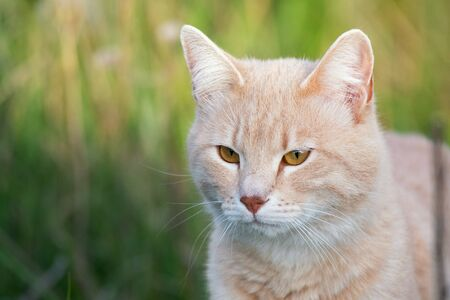 Cat in the green grass. Beautiful red cat with yellow eyes, outdoors. Stock Photo