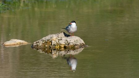 Common tern sterna hirundo, sitting on a rock in the lake. Stock Photo