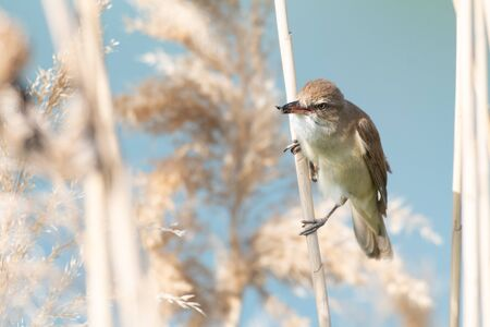 Great Reed Warbler bird with an insect in its beak. Acrocephalus arundinaceus.