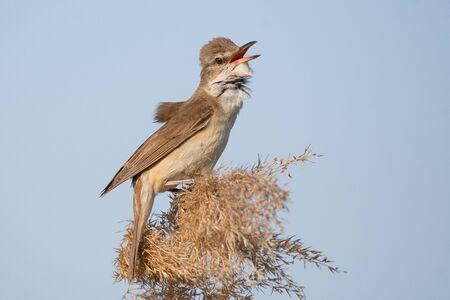 Great Reed Warbler. Bird in the habitat. Acrocephalus arundinaceus. Stockfoto