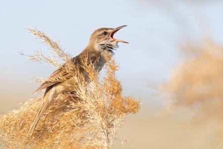 Great Reed Warbler. Singing bird in the habitat. Acrocephalus arundinaceus. Stockfoto