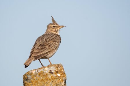 A Crested Lark Galerida cristata. A bird sits on a stone post,