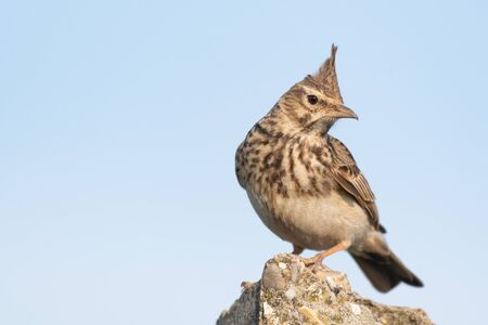 A Crested Lark Galerida cristata. The bird is sitting on a stone post, and looks at the camera.