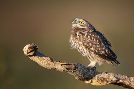 The Little Owl Athene noctua, a young owl sits on a stick in a beautiful light, and looks at the sky. Фото со стока