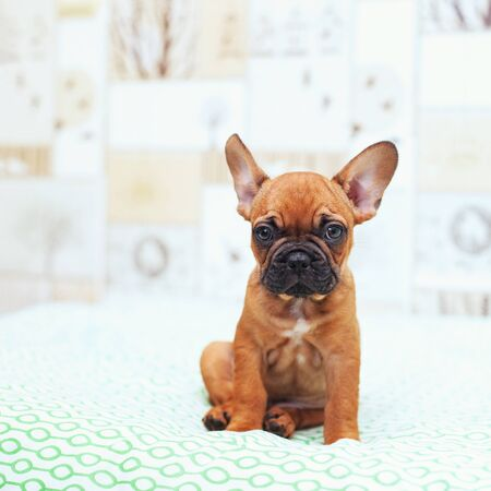 Funny French Bulldog puppy sits and looks at the camera. Фото со стока