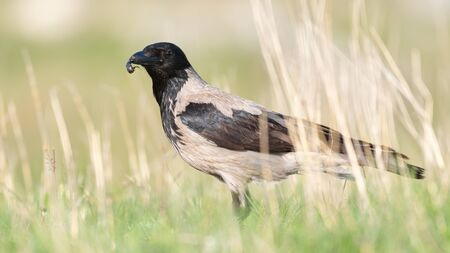 Hooded Crow standing in the grass with an insect in its beak, in the beautiful light. Corvus cornix. Stock Photo