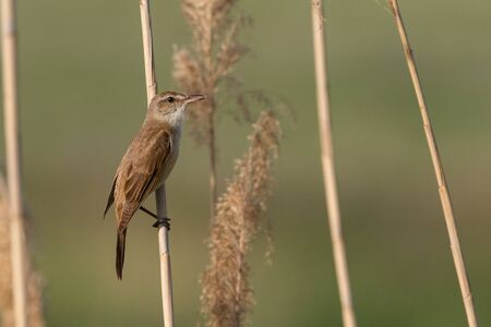 Great Reed Warbler. The bird sits on a reed in the habitat. Acrocephalus arundinaceus. Stockfoto - 148483351