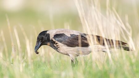 Hooded Crow standing in the grass with an insect in its beak, in the beautiful light. Corvus cornix. Фото со стока
