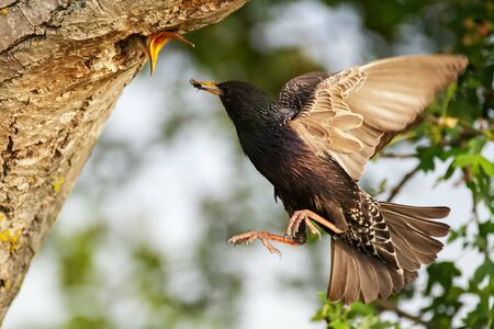 Common Starling Sturnus vulgaris flies to the nest with some insect, feeds its chick. Close up. Фото со стока
