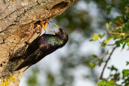 The Common Starling, Sturnus vulgaris feeds chicks in a hollow tree. Close up. Stock Photo