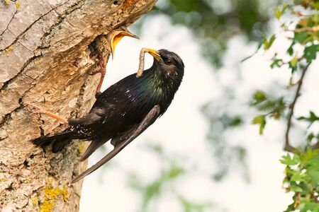 The Common Starling, Sturnus vulgaris with a worm in its beak it feeds its nestling. Stockfoto - 148255024