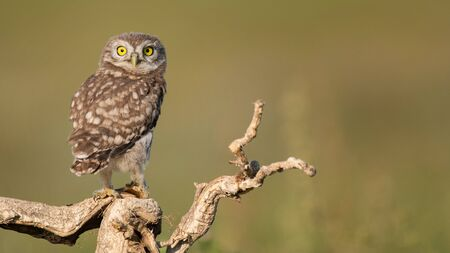 The Little Owl Athene noctua, a young owl sits on a stick in a beautiful light. Фото со стока