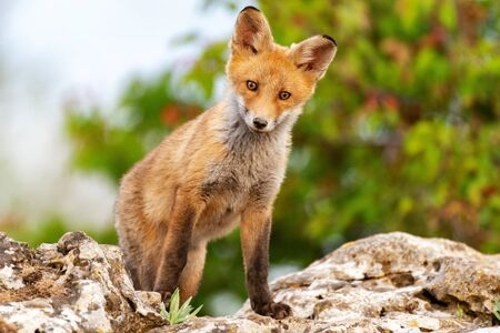 A Fox sits on a rock and looks at the camera. Vulpes vulpes. Stockfoto - 148528436