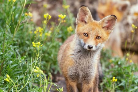 A young Fox stands in the grass near the burrow and looks at the camera. Vulpes vulpes.