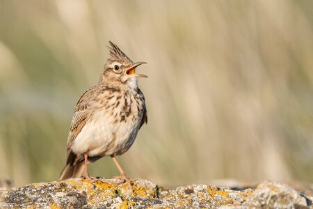 A Crested Lark Galerida cristata, sitting on a rock in a beautiful light. Close up. Stockfoto