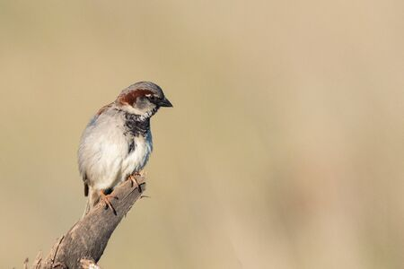 House Sparrow Passer domesticus, sitting on a stick on a beautiful background.