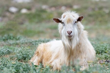 Cute goat on a green pasture field in the countryside. Portrait of an animal.