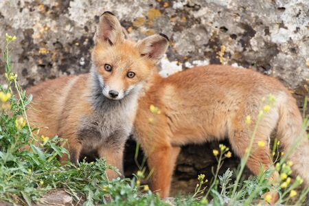 A young Fox stands near the burrow and looks at the camera. Vulpes vulpes. Фото со стока