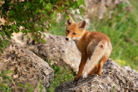 The Fox stands on a rock and looks at the camera. Vulpes vulpes.