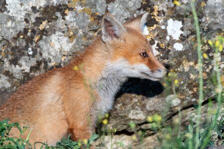 Portrait of a young Fox cub. Vulpes vulpes, close up.
