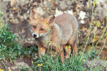 A young Fox looks at the camera. Vulpes vulpes. Фото со стока
