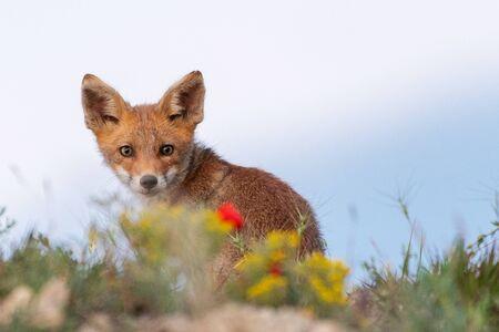 A young Fox looks at the camera. Vulpes vulpes, close up.