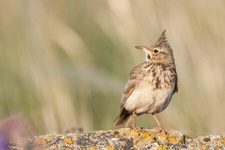A Crested Lark Galerida cristata, sitting on a rock in a beautiful light. Stockfoto - 150198008