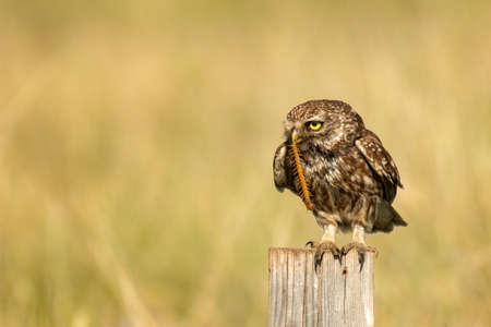 The little owl Athene noctua sitting on a log c Scolopendra gigantea in the beak. Stockfoto