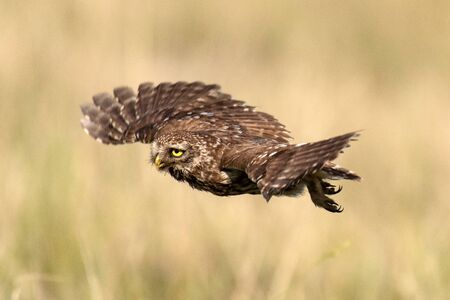 Adult little owl Athene noctua in flight, close up. Stockfoto