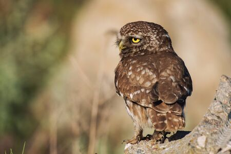 The little owl is on the stone with her head turned. Athene noctua.