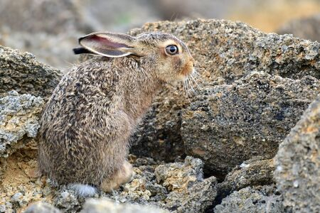 European cute hare sitting on a natural stone. Stockfoto - 150198017