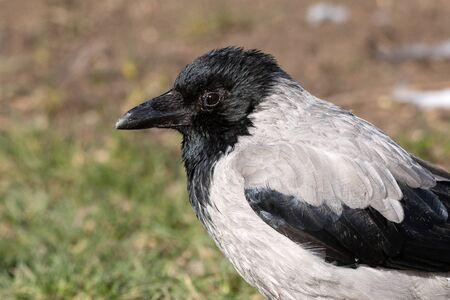 Portrait birds Hooded Crow, Corvus cornix close up. Stockfoto