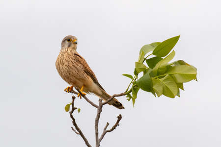 European common Kestrel sitting on a branch. Falco tinnunculus. Stock Photo