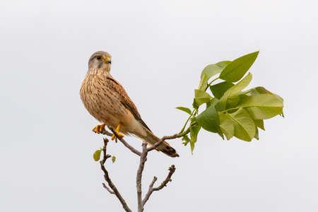 European common Kestrel sitting on a branch. Falco tinnunculus. Stockfoto