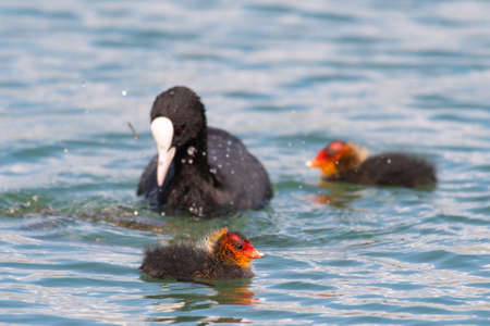 European coot feeding her chick on the lake on a lake. Fulica atra.