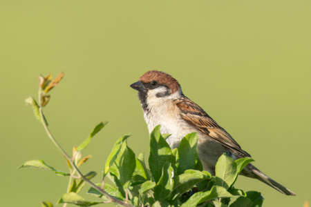 Eurasian Tree Sparrow Passer montanus, colorful bird on branch with green background.