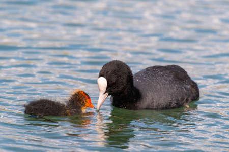 European coot feeding it's chicken on a lake. Fulica atra.